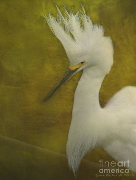 Photograph - Snowy Egret In Breeding Plumage by Grace Dillon