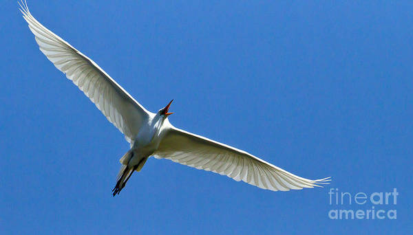 Coosa River Photograph - Snowy Egret In Flight   #6751 by J L Woody Wooden