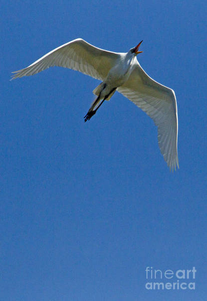 Coosa River Photograph - Snowy Egret In Flight   #6752 by J L Woody Wooden