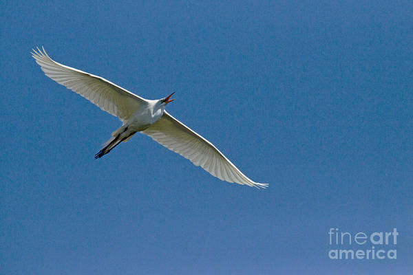 Coosa River Photograph - Snowy Egret In Flight   #6754 by J L Woody Wooden
