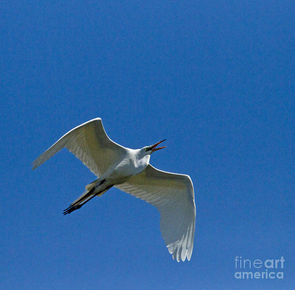 Coosa River Photograph - Snowy Egret In Flight   #6755 by J L Woody Wooden
