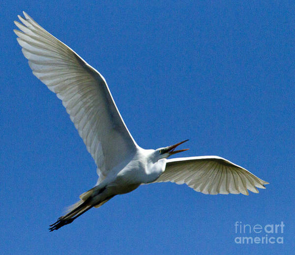 Coosa River Photograph - Snowy Egret In Flight   #6756 by J L Woody Wooden