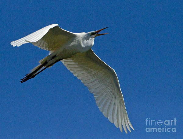 Coosa River Photograph - Snowy Egret In Flight   #6757 by J L Woody Wooden