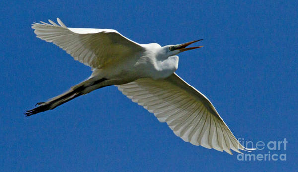 Coosa River Photograph - Snowy Egret In Flight   #6759 by J L Woody Wooden