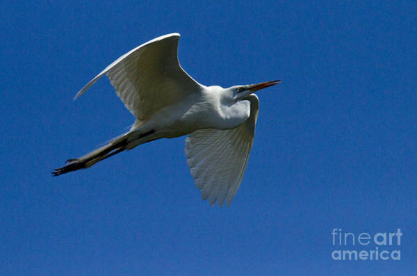 Coosa River Photograph - Snowy Egret In Flight   #6760 by J L Woody Wooden