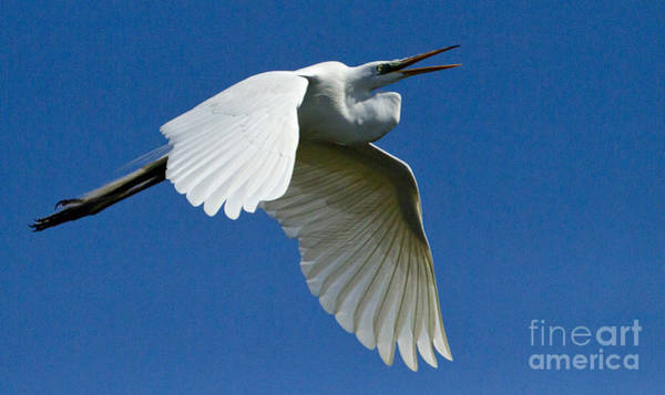 Coosa River Photograph - Snowy Egret In Flight   #6762 by J L Woody Wooden