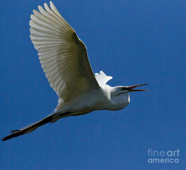 Coosa River Photograph - Snowy Egret In Flight   #6766 by J L Woody Wooden