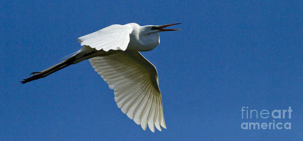 Coosa River Photograph - Snowy Egret In Flight   #6767 by J L Woody Wooden