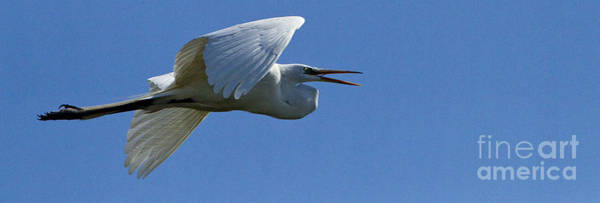 Coosa River Photograph - Snowy Egret In Flight   #6776 by J L Woody Wooden