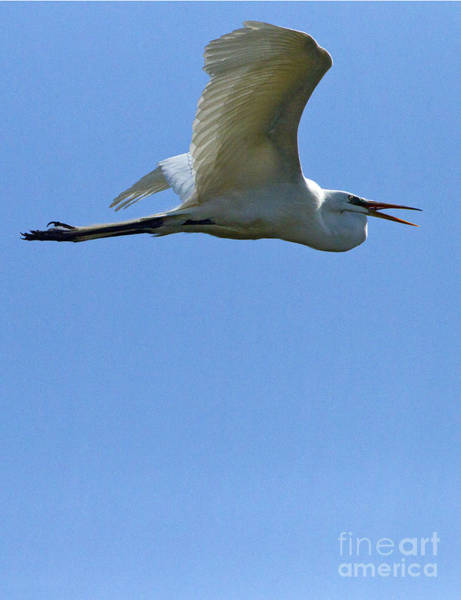 Coosa River Photograph - Snowy Egret In Flight   #6779 by J L Woody Wooden