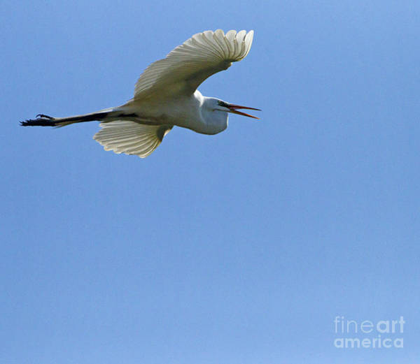 Coosa River Photograph - Snowy Egret In Flight   #6780 by J L Woody Wooden