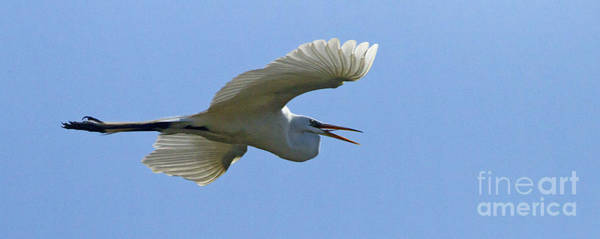 Coosa River Photograph - Snowy Egret In Flight   #6783 by J L Woody Wooden
