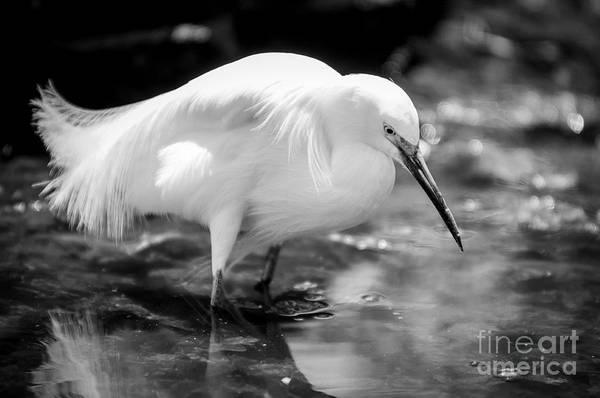 White Egret Photograph - Snowy Egret by Jennifer Magallon