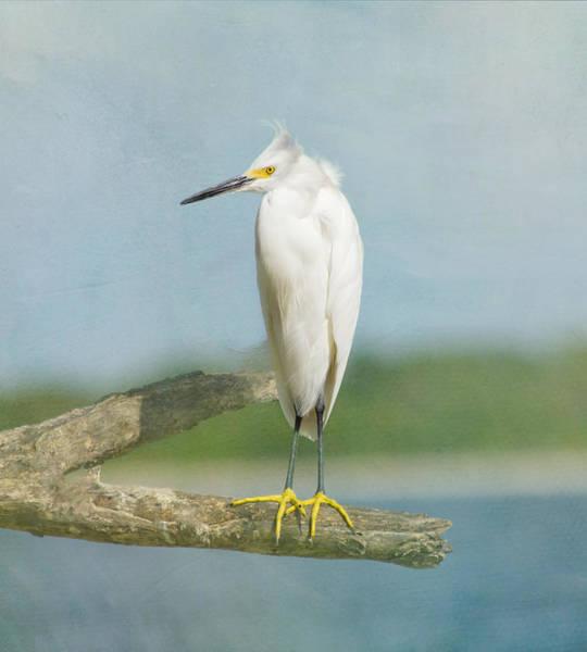 Perch Photograph - Snowy Egret by Kim Hojnacki
