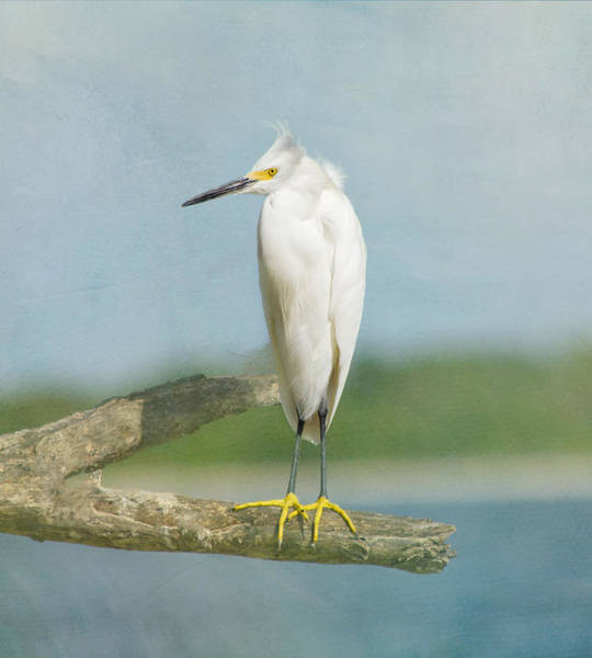 Perching Photograph - Snowy Egret by Kim Hojnacki