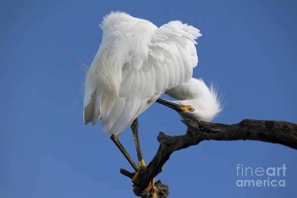 Photograph - Snowy Egret Photograph by Meg Rousher