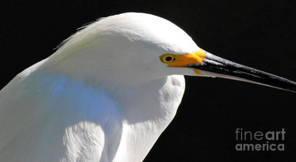 White Egret Photograph - Snowy Egret by Quinn Sedam
