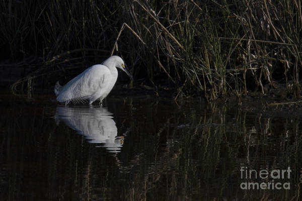 Snowy Egret Photograph - Snowy Egret by Twenty Two North Photography