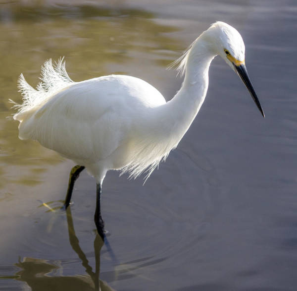 Photograph - Snowy Egret Walking By by Dorothy Cunningham