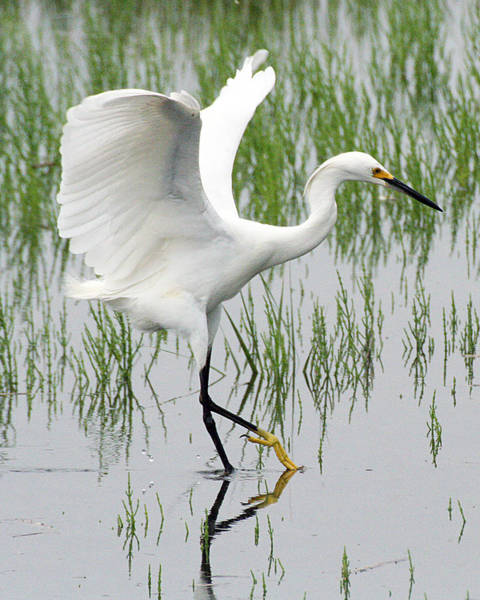 Photograph - Snowy Egret by William Selander