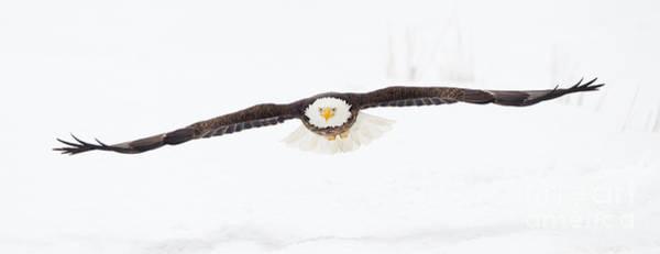 Talon Photograph - Snowy Glide by John Blumenkamp