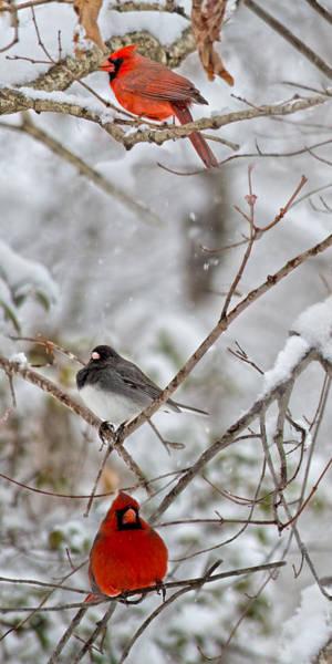 Northern Cardinal Photograph - Snowy Grace Cardinals by Betsy Knapp