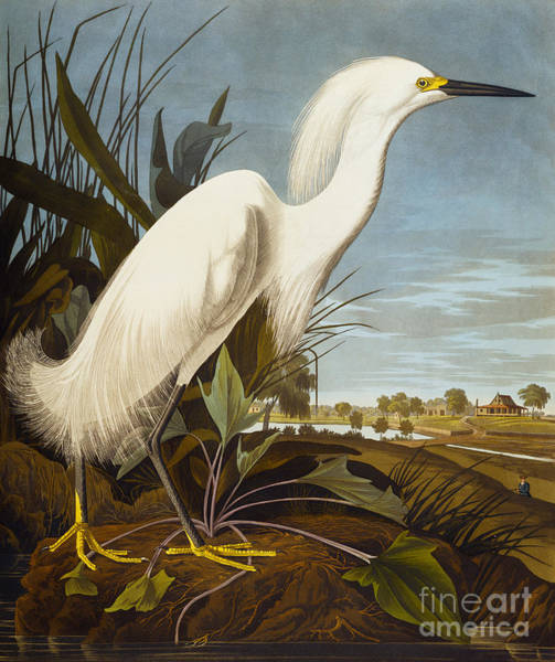 Egrets Wall Art - Painting - Snowy Heron Or White Egret by John James Audubon