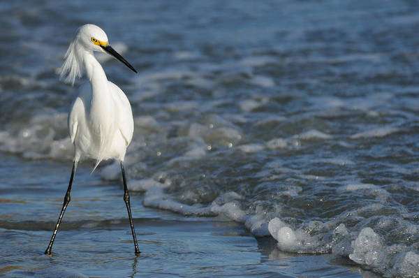 Photograph - Snowy In The Surf by Bradford Martin