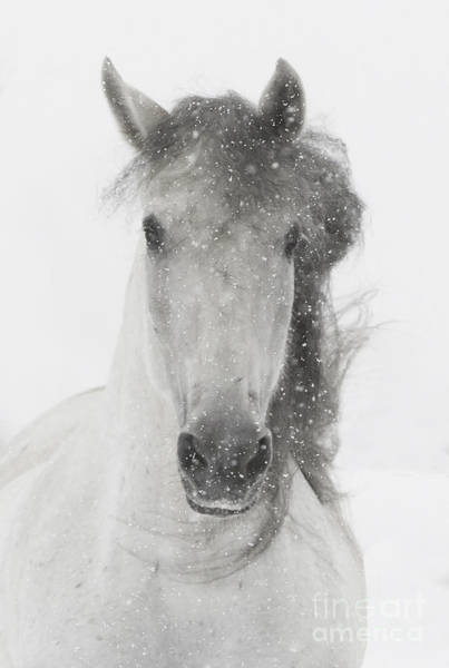 White Horse Wall Art - Photograph - Snowy Mare by Carol Walker