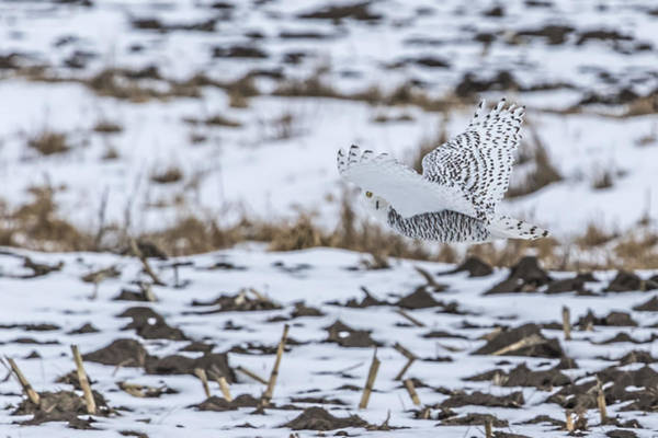 Photograph - Snowy Owl 2014 6 by Thomas Young