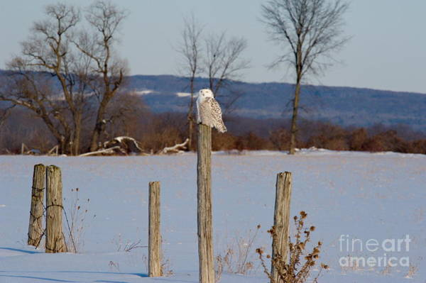 Photograph - Snowy Owl by Andrea Kollo