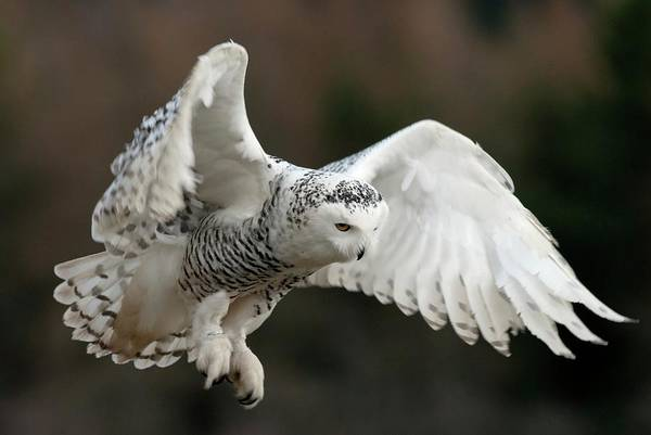 Strigidae Photograph - Snowy Owl by Annie Haycock/science Photo Library