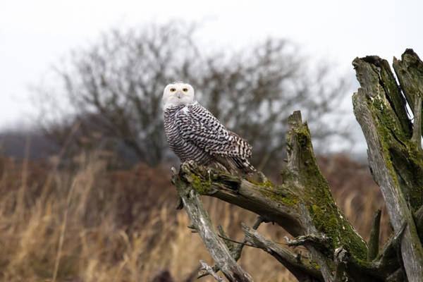 Photograph - Snowy Owl At Boundary Bay  by Pierre Leclerc Photography