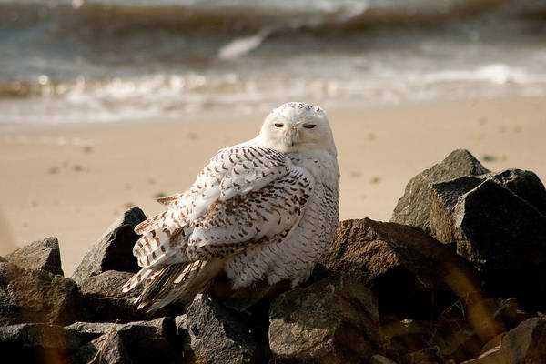Photograph - Snowy Owl At Forsythe by Kristia Adams