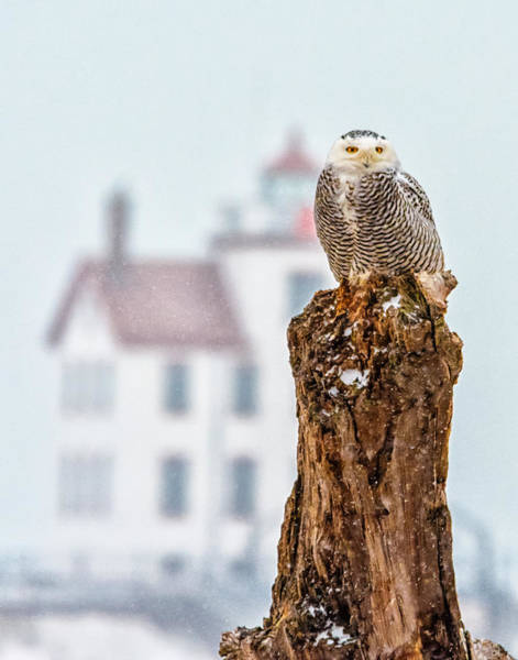 Photograph - Snowy Owl At The Lighthouse by Richard Kopchock
