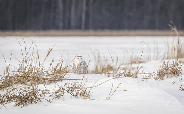 Photograph - Snowy Owl At The Marsh 2 by Thomas Young