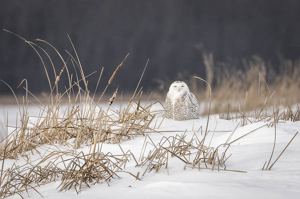 Photograph - Snowy Owl At The Marsh 3 by Thomas Young