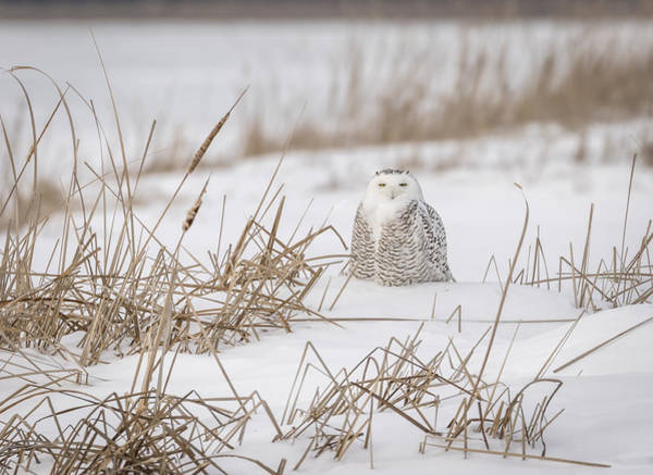 Photograph - Snowy Owl At The Marsh 4 by Thomas Young