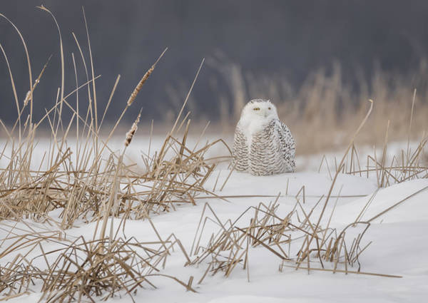Photograph - Snowy Owl At The Marsh 5 by Thomas Young