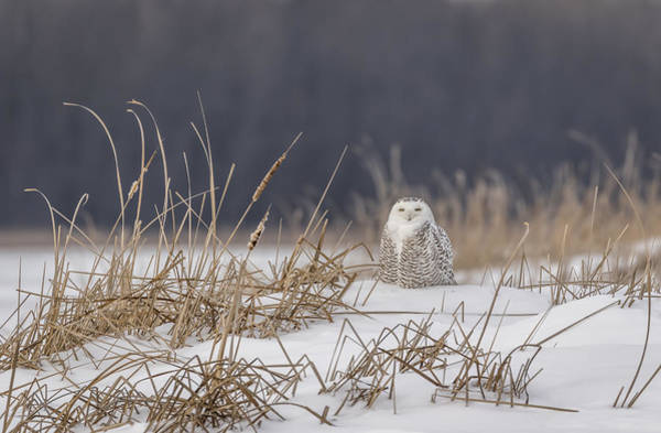 Photograph - Snowy Owl At The Marsh 1 by Thomas Young