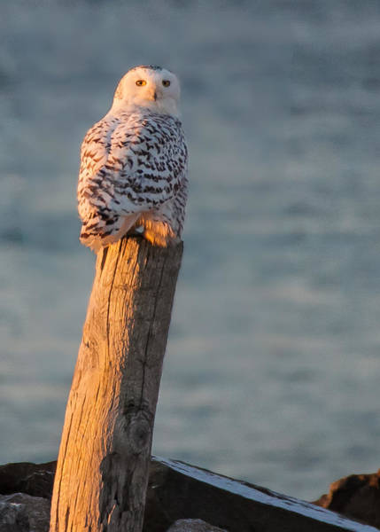 Photograph - Snowy Owl At The Seashore by Jeff Folger
