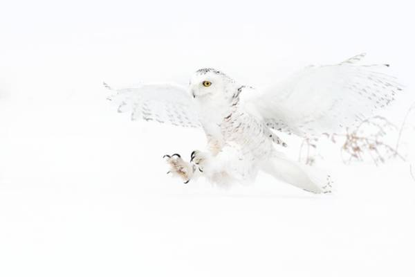 Owl In Flight Photograph - Snowy Owl Attacking Prey by Dr P. Marazzi/science Photo Library