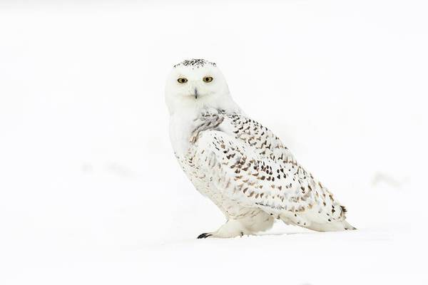Strigidae Photograph - Snowy Owl by Dr P. Marazzi/science Photo Library