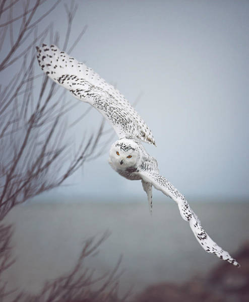 Winter Holiday Photograph - Snowy Owl In Flight by Carrie Ann Grippo-Pike