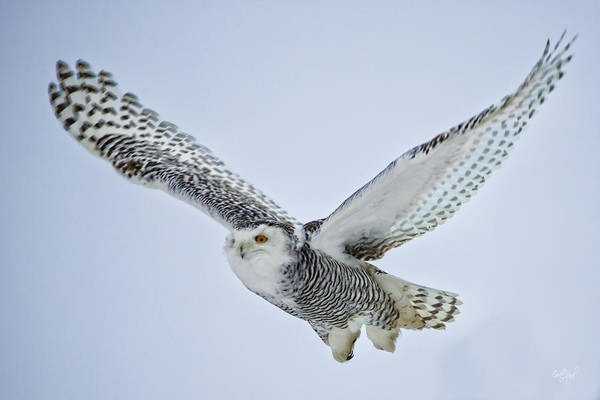 Wall Art - Photograph - Snowy Owl In Flight by Everet Regal
