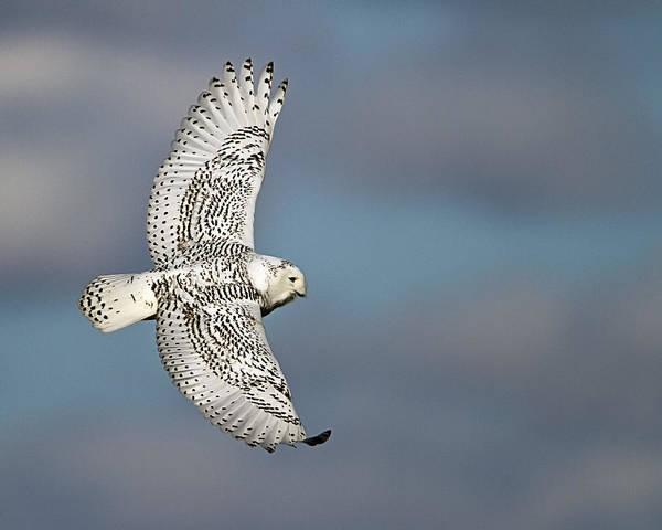 Owl In Flight Photograph - Snowy Owl In Flight by John Vose