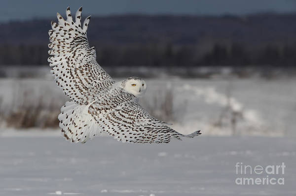 Wall Art - Photograph - Snowy Owl In Flight by Mircea Costina Photography