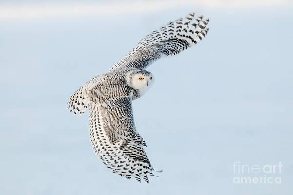 Photograph - Snowy Owl In Flight by Scott Linstead
