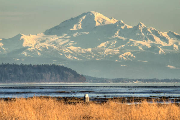 Photograph - Snowy Owl In Front Of Mount Baker by Pierre Leclerc Photography
