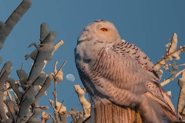 Photograph - Snowy Owl In Morning Light by Jeff Folger
